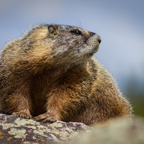 Decisions by Timothy Horng - Animals Other Mammals ( yellowstone, park, marmot, furry, national, chipmunk, dog, small, prairie, rocks, squirrel, animal )