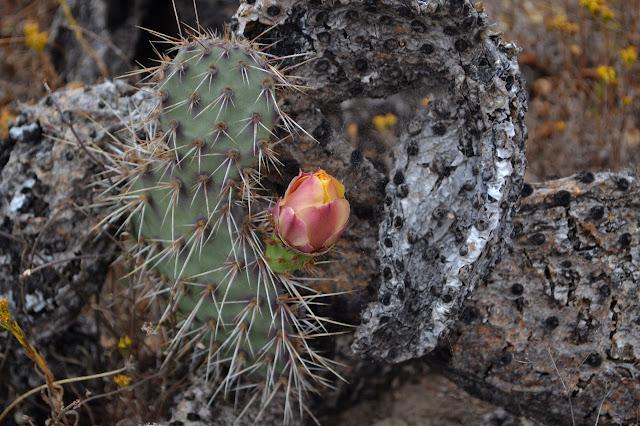 pink and orange bud on a largely burned cactus