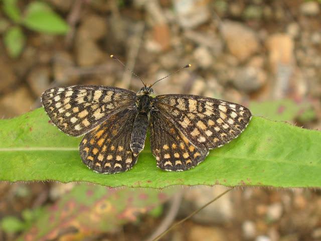 Melitaea sutschana STAUDINGER, 1892, femelle. 20 km de Dal'negorsk vers Kavalerovo, 24 juillet 2010. Photo : J. Michel
