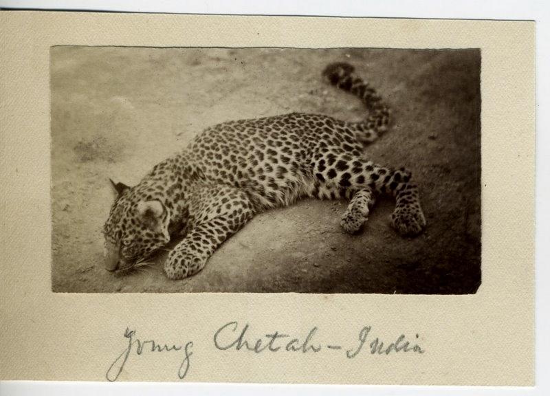 Cheetah Cub - India 1880's