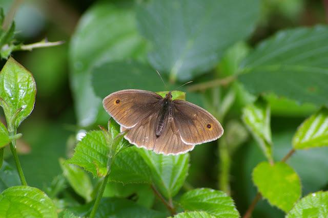 Manolia jurtina L., 1758, mâle. Les Hautes-Lisières (Rouvres, 28), 21 juin 2011. Photo : J.-M. Gayman