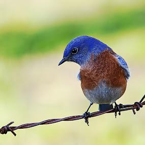 Western Blue Bird by Alex Sam - Animals Birds ( bird, canon, shooter, blue bird, perch )