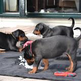 Puppies van CJ vom Schwarzen Wächter x Kooper vom Ferrenberg