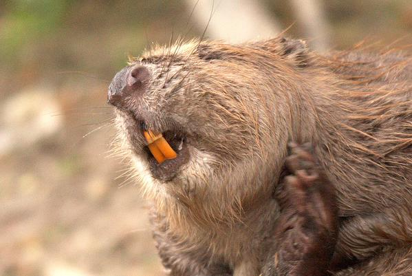 Angry beaver holds wounded man hostage