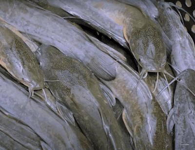 distributor pakan ikan lele 781 Pelet Apung Nila Harga Murah 2021