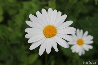 Ox Eye daisy (2)