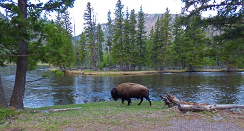 Buffalo, between West Exit and Madison Junction, Yellowstone May 7, 2016