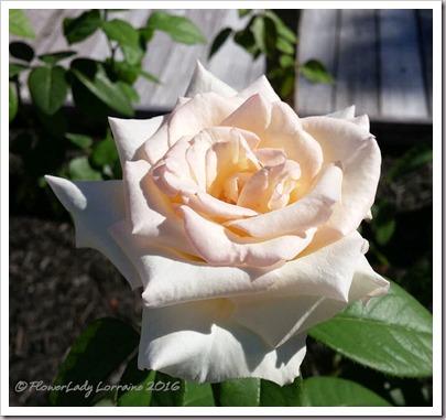 10-22-rose
