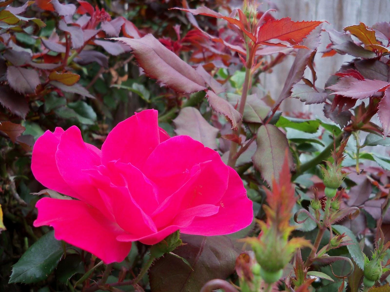 Gardening 2012 - 115_1317.JPG