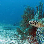 Turtle and whitetip shark