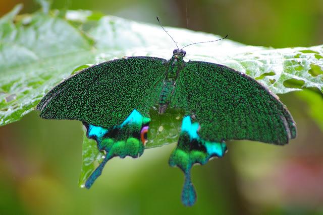 Papilio karna carnatus ROTHSCHILD, 1895. Moyog, Crocker Range (Sabah, Malaisie, Bornéo), 18 août 2011. Photo : J.-M. Gayman