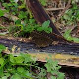 Morpho (Morpho) helenor type forêt-galerie, mâle. Fundo Palmarito, 265 m (Yopal, Casanare, Colombie), 8 novembre 2015. Photo : J.-M. Gayman