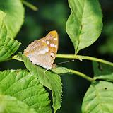 Apatura ilia (DENIS & SCHIFFERMÜLLER, 1775), mâle. Les Hautes-Lisières (Rouvres, 28), 18 juillet 2013. Photo : J.-M. Gayman