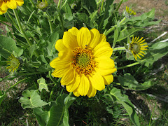 Balsamorhiza sagittata (Arrow-leaf balsamroot)