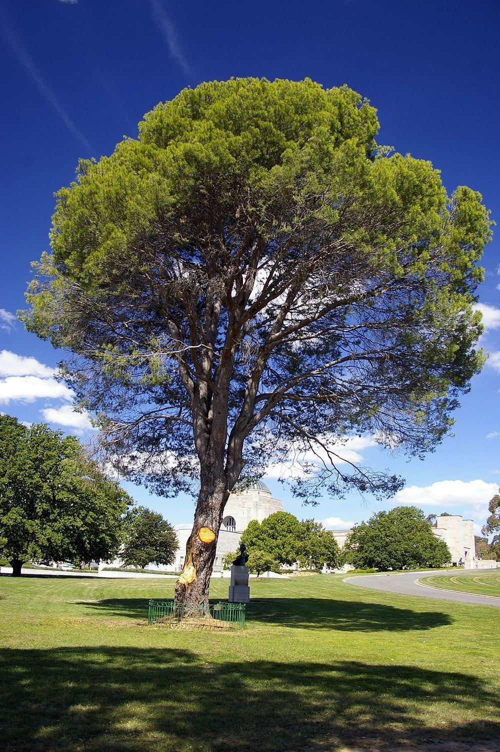 "The Australian Women S Weekly The Best Of Disney Kid S: The ""Lone Pine"" Trees Growing Across Australia"