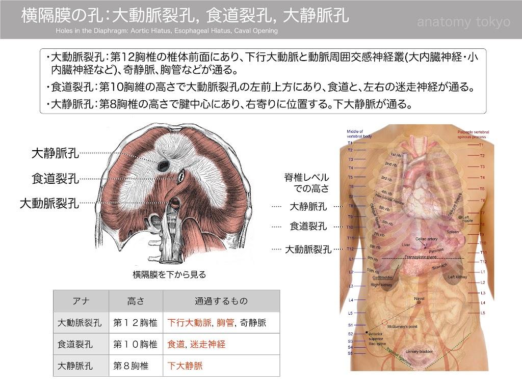 2017-a21-Holes-in-the-Diaphragm--Aortic-Hiatus,-Esophageal-Hiatus,-Caval-Opening.jpg