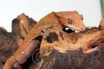 Watchy - Patternless orange adult male crested gecko from moonvalleyreptiles.com