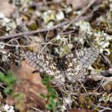 Zerynthia rumina (L., 1758). Plateau de Coupon (511 m), Viens (Vaucluse), 10 mai 2014. Photo : J.-M. Gayman