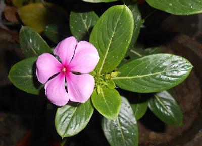 Sadafuli flowers information in Marathi
