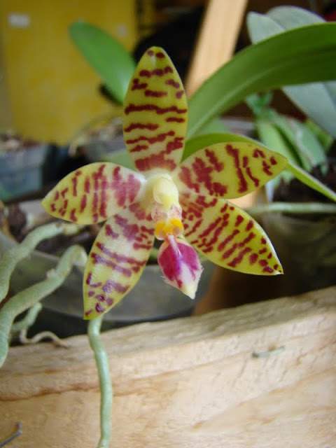 phalaenopsis DSC07051