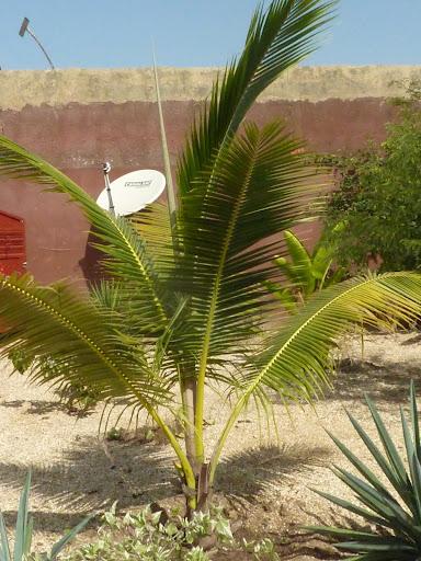 Cocotiers et palmiers a identifier jazz - Palmier cocotier ...