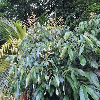 musim buah, buah-buahan tempatan, mata kucing, pokok