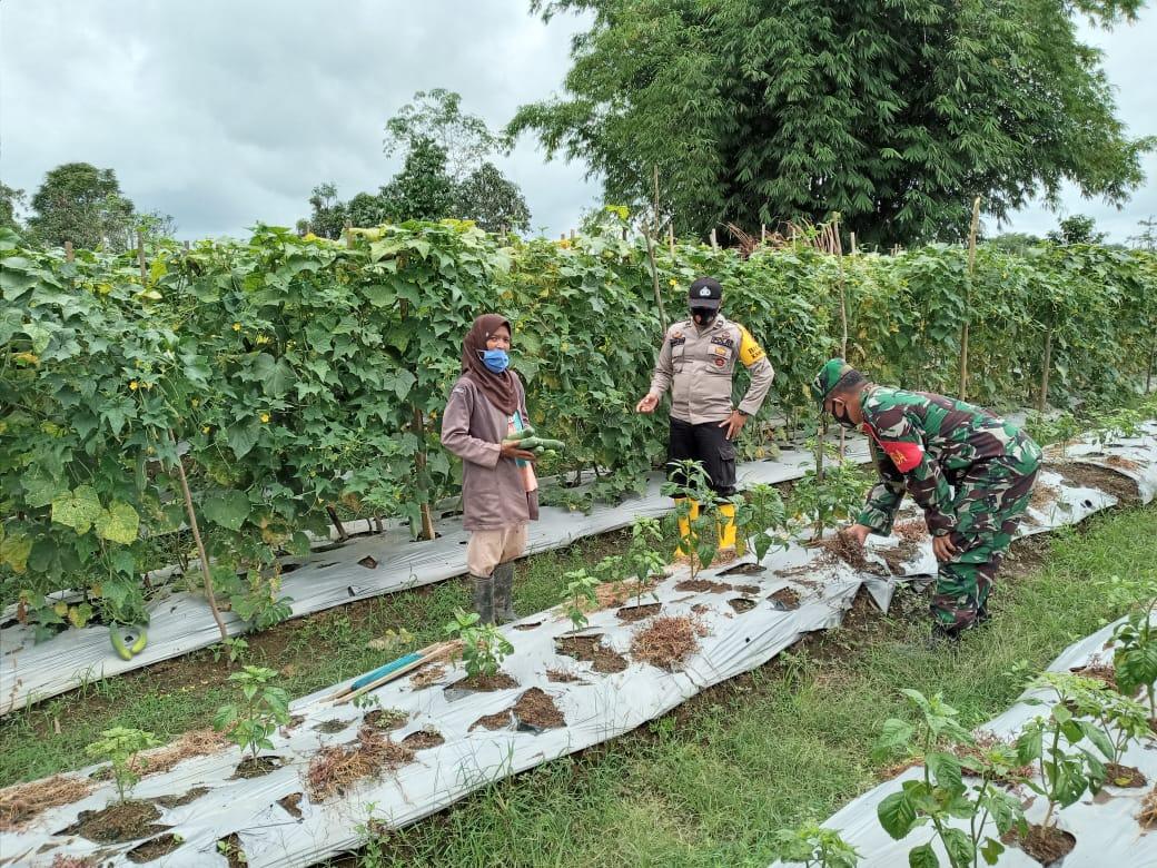 Kompak Babinsa dan Bhabinkamtibmas Bantu Petani Hingga Ke Kebun
