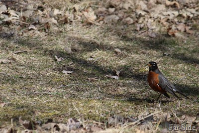 Robin May 5