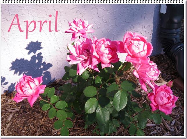 aprilroseIMG_5436