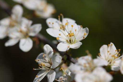 Trnky kvitnú