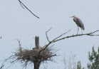 Heron Colony at Libby Hill-007.JPG