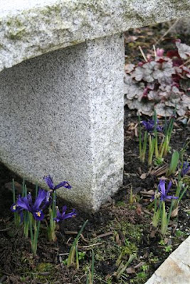 Mini irises and stone bench