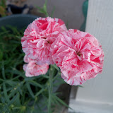 Gardening 2012 - 115_2607.JPG