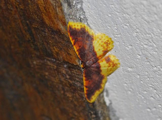 Larentiinae : Eois sp. Mount Totumas, 1900 m (Chiriquí, Panamá), 20 octobre 2014. Photo : J.-M. Gayman