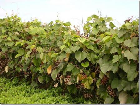5 loài cây gây nghiện bạn có thể trồng hợp pháp trong nhà (8)