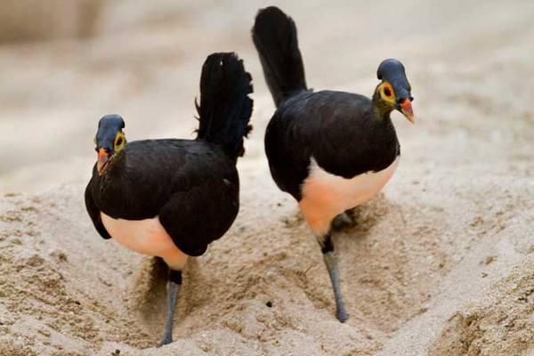 Burung Maleo Macrocephalon maleo