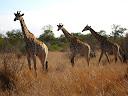 A trio of giraffes.