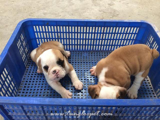 Tùng Lộc Pet - mua chó bulldog. bán chó bulldog Anh tại Hà nội và TPHCM