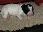 C Pups week 8: naar de nieuwe baasjes
