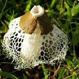 Champignon : Phallaceae. Saut Athanase sur l'Approuague (Guyane). 20 novembre 2011. Photo : J.-M. Gayman