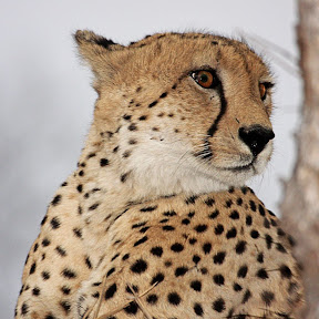 Male Cheetah, South Africa