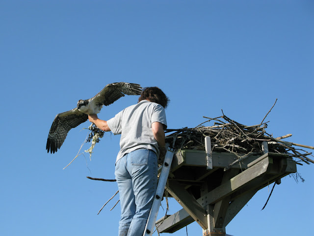 Osprey Banding - Pictures%2B006.jpg