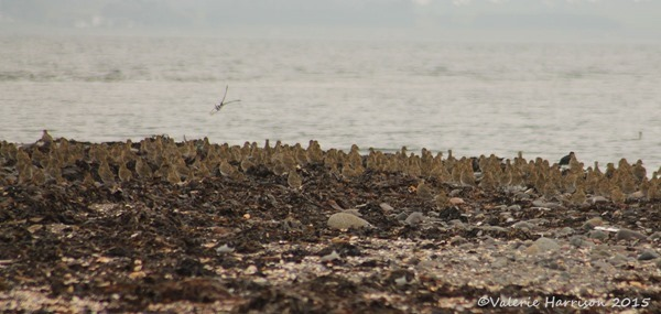 8-Golden-plovers