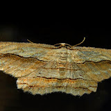 Geometridae : Ennominae : Boarmiini : Euphronarcha luxaria GUÉNÉE, 1857. Umina Beach (NSW, Australie), 22 octobre 2011. Photo : Barbara Kedzierski