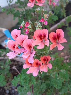gül damlası çiçeği