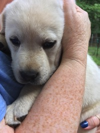 Yellow Lab puppy in Kelly's arms