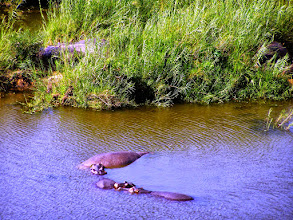 Photo: Hippos in Kruger NP
