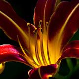 daylilly_MG_6945-copy.jpg