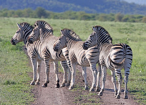 Dazzle of Zebra, South Africa