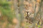 CAPUCIN   Lièvre dans la forêt du Massacre (39)